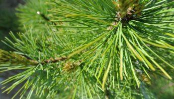 Кедровое дерево на участке: народные поверья и мнение специалистов