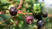 Ирга — красивый и полезный кустарник в вашем саду