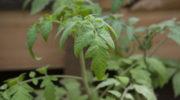 Вырастить томаты в ведре и получить хороший урожай — это реально!