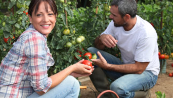 Небывало обильный урожай томатов — 9 советов