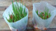 Как без земли вырастить лук в пакете