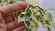 Пожелтели листья у домашнего цветка — что делать?
