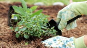 Для чего применяют хвою в саду и на огороде