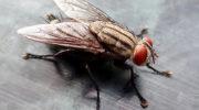 Домашние мухи: способы борьбы