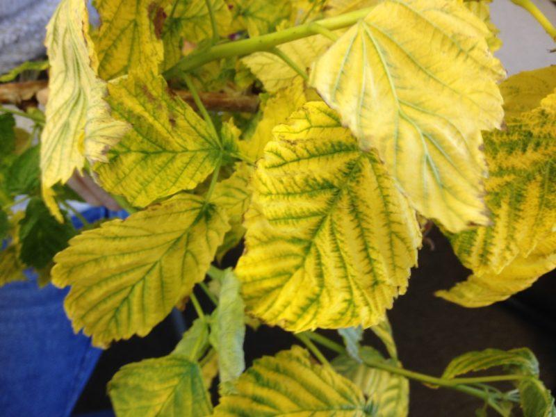 Желтые листья у малины — разбираемся в причинах
