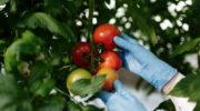 Роковые ошибки начинающих томатоводов