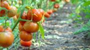 Неприхотливые и урожайные: выращиваем лучшие штамбовые сорта томатов в открытом грунте