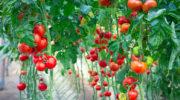 Ампельные томаты — топ-5 лучших сортов