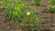 Обработка открытого грунта после выращивания томатов