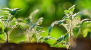 Можно ли получить превосходный урожай томатов, не ухаживая за ними?