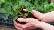 Рассада клубники — выращивание из семян