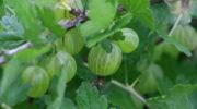 Крыжовник для царского варенья: лучшие сорта с ягодами желтого и зеленого цвета