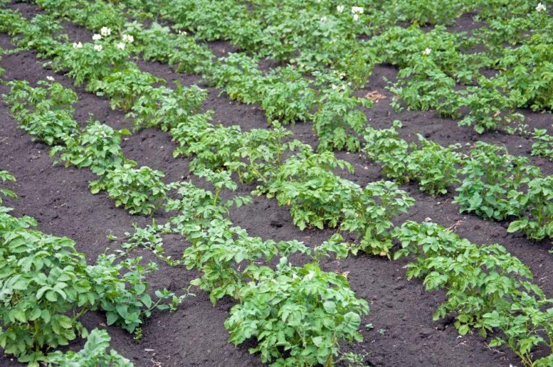 Поэтапный уход за картофельными посадками летом