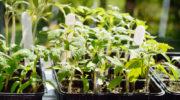 Выращивание помидоров на двух корнях