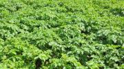 Посадка картофеля в июле — миф или реальность? Особенности выращивания