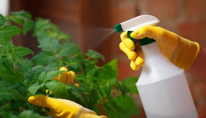 Простое и доступное средство для улучшения качества томатов. Когда и как применять аспирин