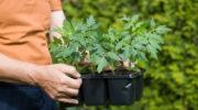 Тонкости выбора расстояний при высадке помидорной рассады в разных случаях: в открытом и закрытом грунте, для сортов любых размеров
