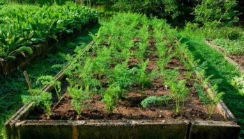 Удобные методы посадки моркови — чтобы не прореживать рядки