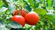 Народные методы для выращивания здоровых и вкусных помидоров
