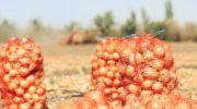 Как собрать большой урожай качественного лука — раскрываем секреты и делимся тонкостями процесса выращивания