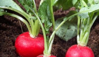 Как с помощью кипятка вырастить отличный урожай редиса