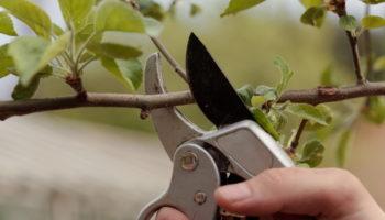Как правильно обрезать яблоню и грушу весной — получится даже у новичков