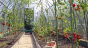 Увеличиваем число завязей у помидоров с помощью народных средств, проверенных временем