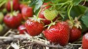 Секреты хорошего урожая клубники