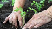 Секреты богатого урожая томатов — готовим лунки для посадки саженцев правильно