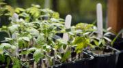 Заряд здоровья для саженцев помидоров — удобрения, которые стоит положить в лунки при пересадке