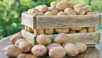 Метод Балабанова для выращивания картофеля — отличный урожай при небольших усилиях