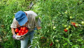 Методика Казарина для выращивания помидоров — культивируем овощи результативным способом